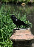 Black Birds at Swan Lake and Iris Gardens. Sumter, SC Stock Image