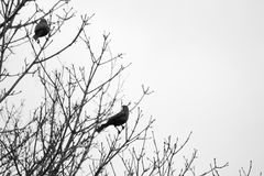 Black Birds Tree Branches Black And White. Two black birds sitting in tree branches. Outdoors springtime. Black and white photo Royalty Free Stock Images