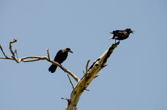 Black birds. Two vultures sitting on the branches of a dry tree royalty free stock image