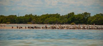 Black birds and white Pelican by the river. Rio Lagartos, Mexico. Yucatan. Black birds and white Pelican by the river in the nature reserve of Rio Lagartos Stock Photography