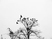Black birds. Black and white photography flock of birds on a gloomy dry tree Stock Photo