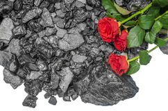 Black Bituminous coal red roses Stock Image