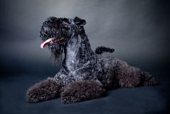 Black on black. Kerry-blue terrier on black background Stock Photos
