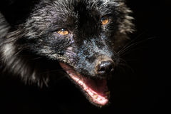 Black in black. Black old fox with black background Royalty Free Stock Images