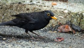 Black Blackbird hunting with a worm i Stock Images