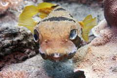 Black-bloched porcupinefish Stock Images