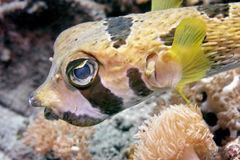 Black-bloched porcupinefish Stock Photo