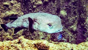 Black blotched porcupine fish in Maldives. Black blotched porcupine fish in Maldives stock images