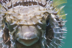 Black blotched porcupinefish at Lipe island Royalty Free Stock Photos