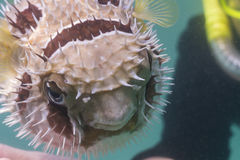 Black blotched porcupinefish at Lipe island Stock Images