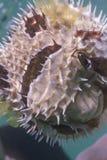 Black blotched porcupinefish at Lipe island Stock Photos