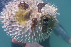 Black blotched porcupinefish at Lipe island Stock Photography