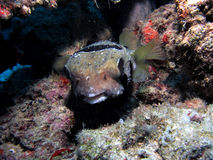 Black-Blotched Porcupinefish Stock Images