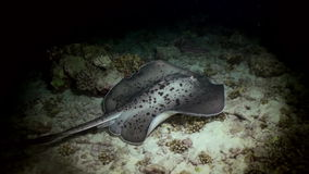 Black blotched stingray night hunting on reef. stock video