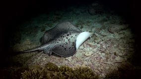 Black blotched stingray night hunting on reef. Black blotched stingray (Takeniurops myelin) night hunting on the reef in search of food. Underwater landscape stock footage
