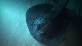 Black blotched stingray night hunting on reef. Black blotched stingray (Takeniurops myelin) night hunting on the reef in search of food. Underwater landscape stock video footage