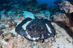 Black-Blotched Stingray on Seafloor Stock Photo