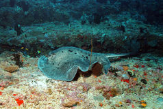 Black-blotched Stingray. (Taeniurops Meyeni - aka Black-spotted Stingray, Blotched Fantail Ray, Fantail Stingray, Giant Reef Ray, Round Ribbontail Ray, Speckled royalty free stock image