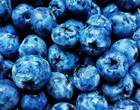 Black and blue blueberry with water drops.  royalty free stock photo