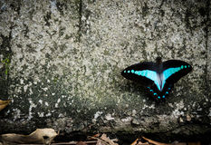 Black and blue butterfly. Sitting on a tree trunk with dried leaves at the bottom Royalty Free Stock Photo