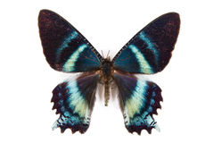 Black and blue butterfly Alcides argathyrses royalty free stock photography