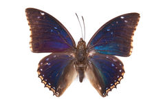 Black and blue butterfly Charaxes bipunctatus Royalty Free Stock Photo