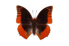 Black and blue butterfly Charaxes protoclea azota Royalty Free Stock Photography