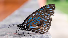 The black and blue butterfly. The black and blue butterfly on the floor Stock Photography