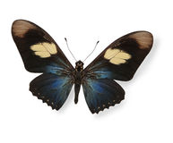 Black and blue butterfly isolated Royalty Free Stock Photo