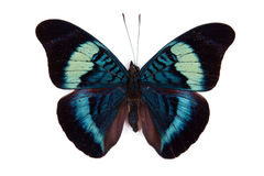 Black and blue butterfly Panacea prola Royalty Free Stock Photos