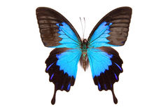 Black and blue butterfly Papilio ulysses  isolated Stock Images