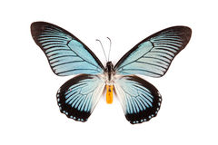 Black and blue butterfly Papilio zalmoxis isolated Royalty Free Stock Photo