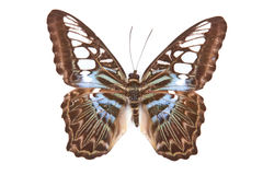 Black and blue butterfly Partenos silvia lilacinus Stock Image