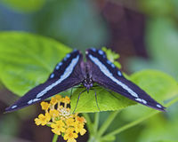 Black and blue butterfly on plant with flower. Staring with his eyes royalty free stock image