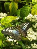 Black and blue Butterfly on a plant. Butterfly perched on a plant royalty free stock photos