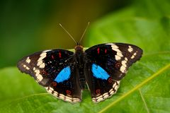 Black and blue butterfly sitting on the green leave in the forest. Beautiful butterfly Blue Pansy, Junonia oenone, insect in the n. Ature habitat, green leave Stock Images