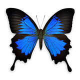 Black and blue butterfly on white background Royalty Free Stock Photography