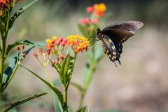 Black Swallowtail Butterfly Resting on the Texas Wildflowers Stock Photos