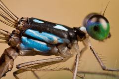 A black and blue damselfly Royalty Free Stock Photo