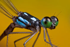 A black and blue damselfly coeliccia albicauda Stock Photos