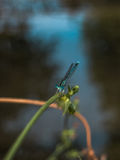 Black and blue dragonfly. Beautiful dragonfly with attractive glance Royalty Free Stock Photo