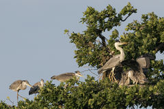 A black or blue heron while feeding its puppy Royalty Free Stock Photo