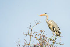 Black or blue heron while flying to its nest Royalty Free Stock Photo