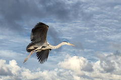 Black or blue heron while flying to its nest Stock Photos