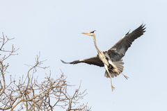 Black or blue heron while flying to its nest Stock Image