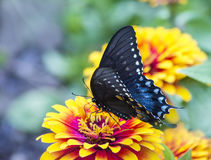 Black and Blue Spicebush Swallowtail Butterfly on flower Royalty Free Stock Image