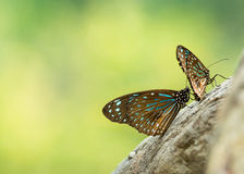 Black and blue striped butterfly Stock Photography