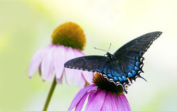 Black and Blue Spicebush Swallowtail Butterfly on flower. Beautiful black and blue spicebush swallowtail butterfly on a purple coneflower against a pale green stock photos