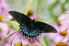 Black and Blue Swallowtail Butterfly on flower. Beautiful black and blue spicebush swallowtail butterfly on a purple coneflower against a pale green and pink royalty free stock photography