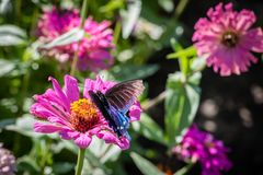Pipevine Swallowtail Butterfly on an Pink Flower Stock Images